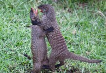 Mongoose fight