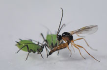 The parasitoid Aphidius megourae attacking the aphid Megoura viciae