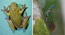 Frog from Zambia and lantern bug from Borneo