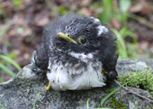 Horsfield's hawk cuckoo chick from Japan