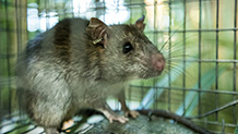 Invasive Rodents