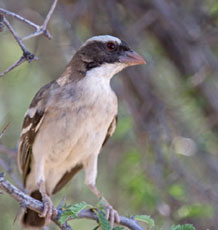 A white-browed sparrow weaver
