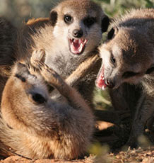 Reproductive conflict in meerkat societies