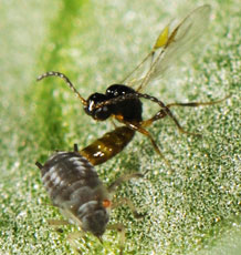 The parasitoid wasp Trioxys acalephae laying an egg in a black bean aphid, Aphis fabae. Photo Dirk Sanders.