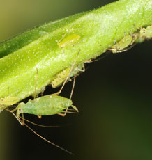 Adult and nymphs of the pea aphid (Acyrthosiphon pisu) Photo Dirk Sanders.