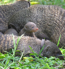 A mongoose huddle