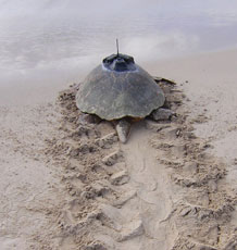 Turtle with a tracking device