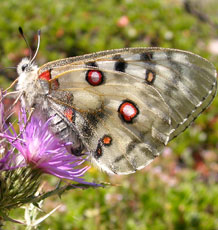 Apollo butterfly in central Spain